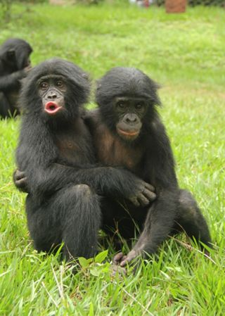 Bonobo consoles another bonobo.