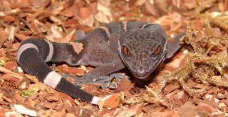 Chinese gecko