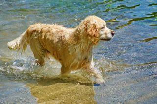 Labrador golden retriever in water.