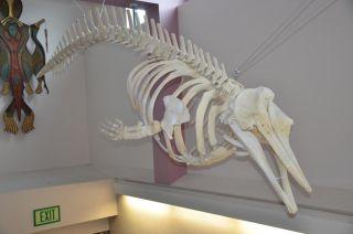 beaked whale skeleton