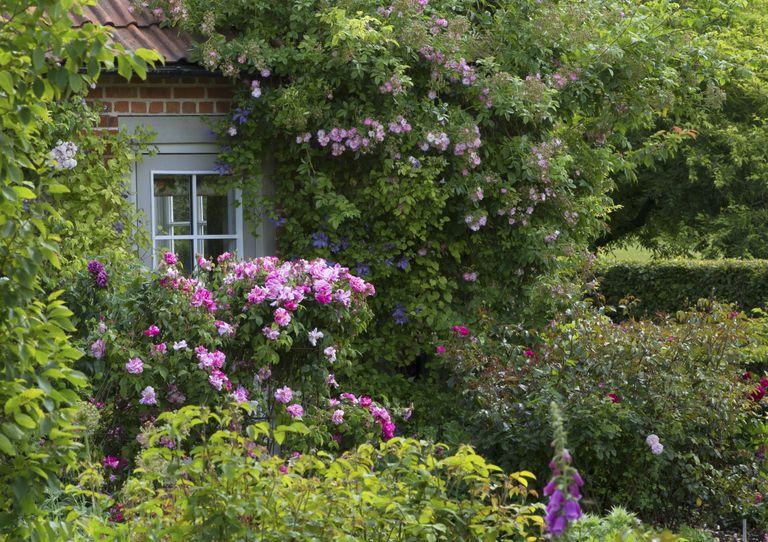 Planting roses: in the David Austin garden