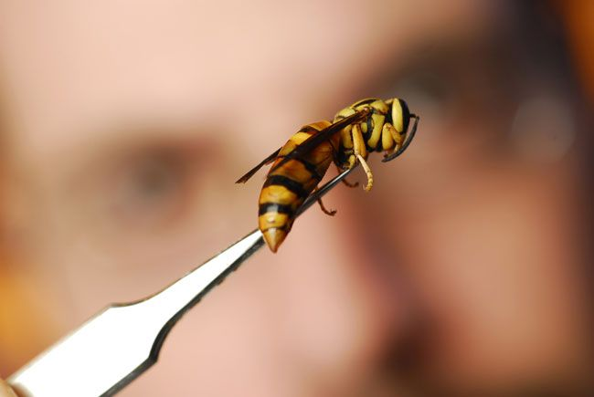 How To Capture Yellow Jackets And Not Get Stung Live Science