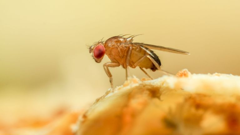 how to get rid of fruit flies - a fruit fly close up - GettyImages-1168455519