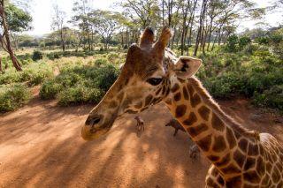 Giraffe Tall & Tiny: Nature's Extremes