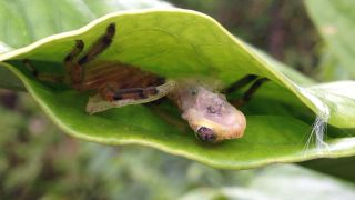 A huntsman spider clutches its tree frog prey inside what could be a trap, constructed by the spider.