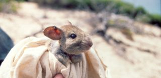 Greater stick-nest rat, extinction, endangered species