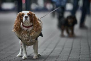 A small cavalier dog on a walk.