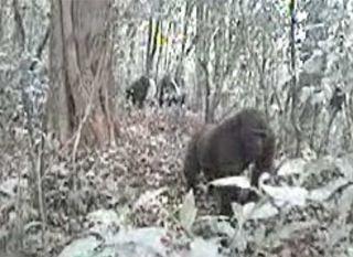 Cross River gorillas, gorilla video, rarest gorillas, endangered species, animal news