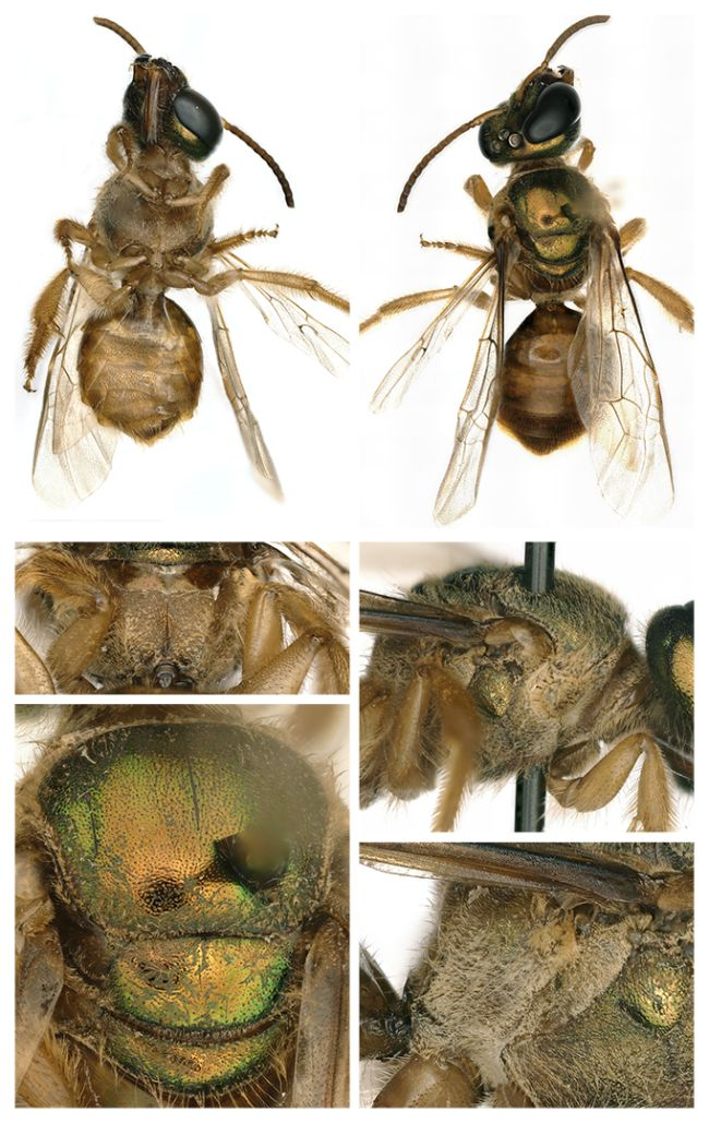 The right side, or female side, of the bee's body was hairier and had a more robust hind leg.