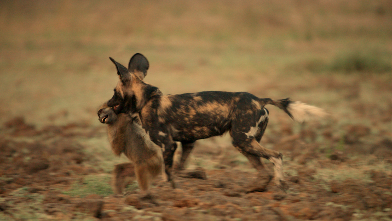 Painted Wolves Caught On Camera Hunting Baboons For The First Time Live Science