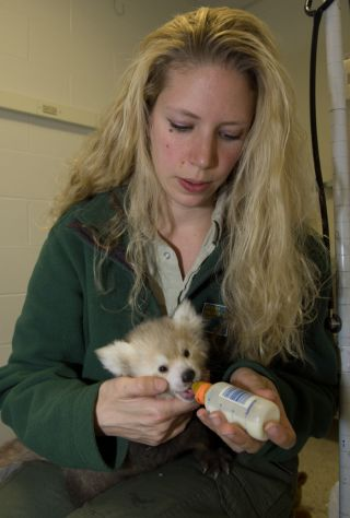 Zookeeper Nora Beirne feeds red panda