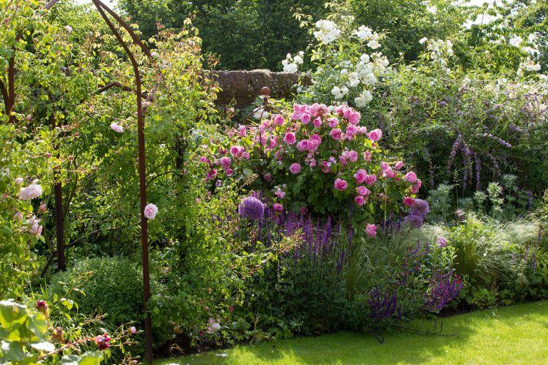 Sissinghurst rose pruning trick : shrub roses in cottage garden