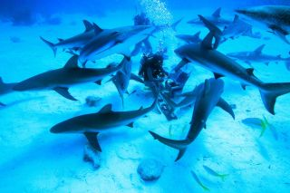 feeding reef sharks in the Caribbean