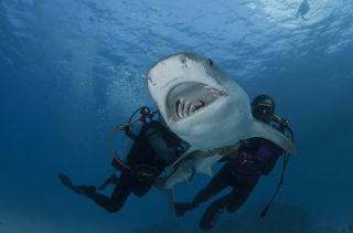 Researchers restrain a tiger shark off the coast of Australia