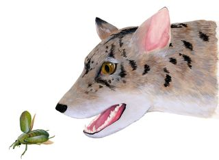 Artist's reconstruction of an early beardog (from about 38 million years ago) from Texas, based on fossils of<em>Angelarctocyonaustralis</em> and <em>Gustafsonia cognita</em>.