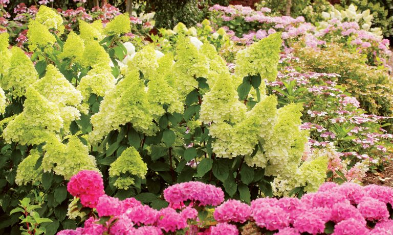 Green Hydrangea flowers in bed Alamy