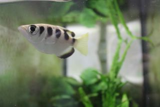 an archerfish