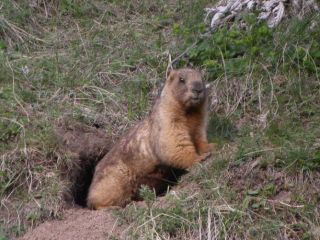 marmot, rodent, the plague, China