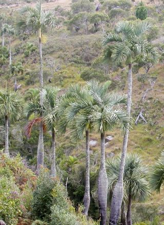 Madagascar's Manambe Palm (Dypsis decipiens) is threatened with extinction.