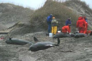 pilot-whales-stranded-100924
