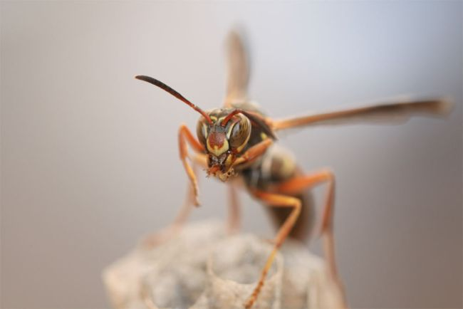 female paper wasp with its distinct facial markings