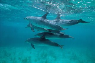 Atlantic spotted dolphins, seismic airgun blasts
