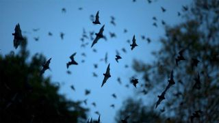 Bats in flight at night