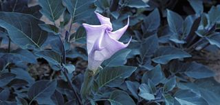 Strong roots, sacred datura