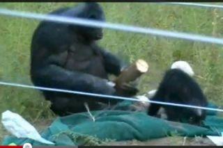 tool use, chimpanzees, intelligence