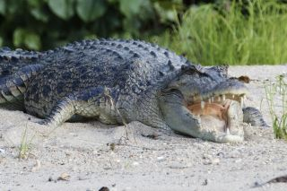 Saltwater crocodiles are the largest species alive today.