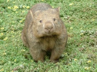 A wombat in grass.