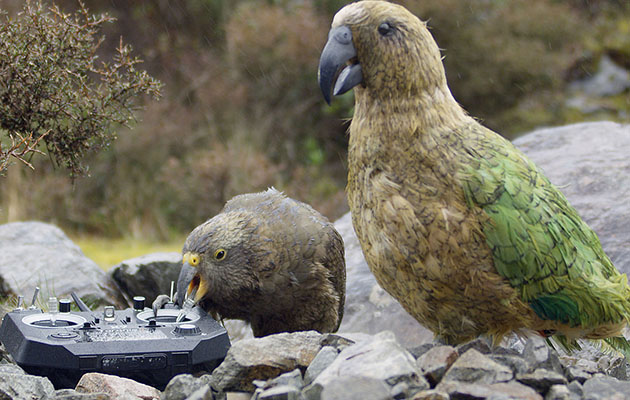 Spy cam, we have a problem. Kea biting controller of Spy Kea in New Zealand.