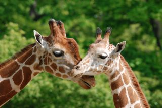 two giraffes touching lips