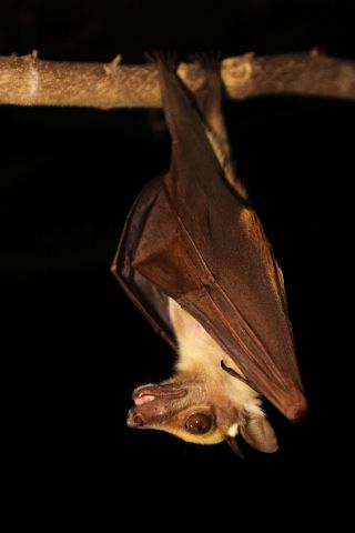 A fruit bat in Ghana