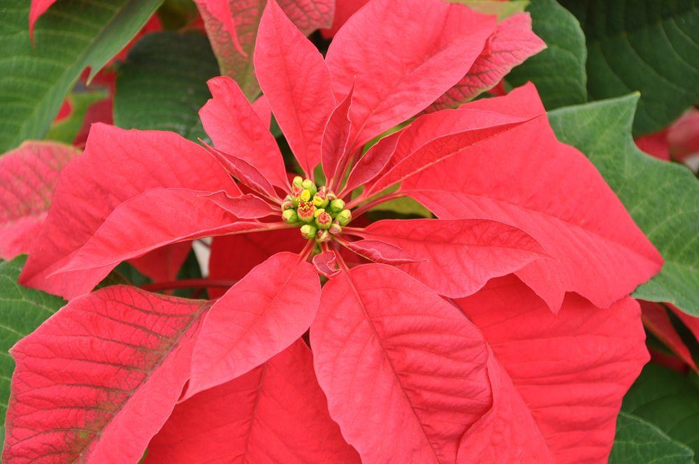Poinsettia Flower Of The Christmas Season Live Science