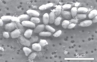 Bacteria Arsenic