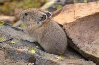 Pikas are related to rabbits and live at high elevations in the mountains of North America.