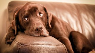 Dog losing weight: Chocolate Labrador lying on couch