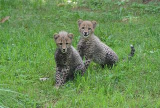 Two three-month-old cheetah cubs seen at the Smithsonian's National Zoo on July 23, 2012. The cubs survived a difficult birth and are being hand-raised by zoo staff.
