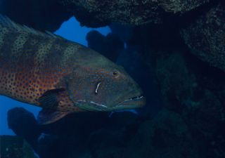 "The Red Sea roving coralgrouper (Plectropomus pessuliferus marisburi), which can use ""sign language"" to hunt."