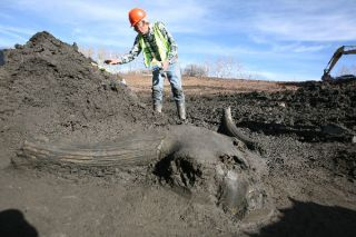 Bison skull at mastodon excavation