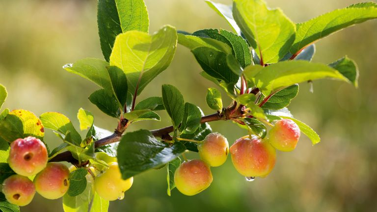 crab apple branch with ripening fruits in autumn