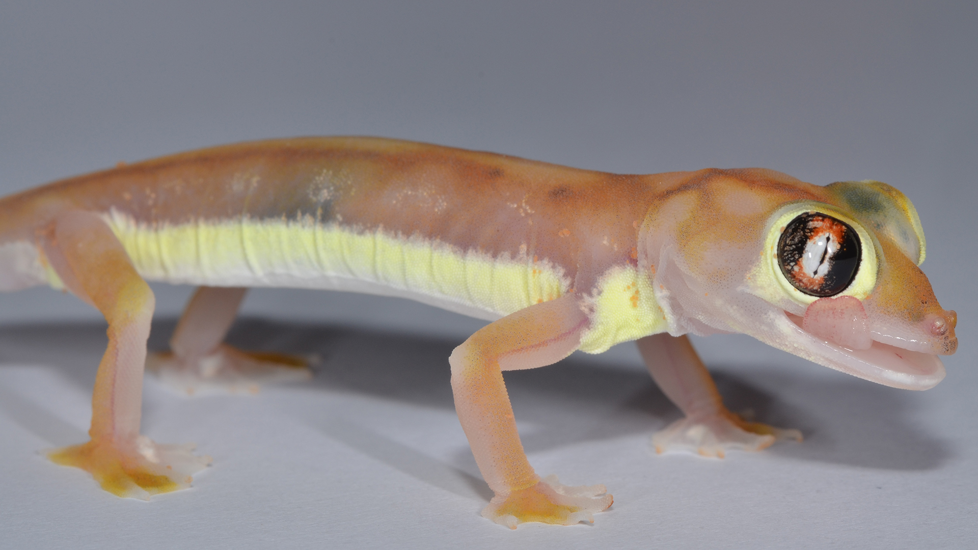 Yellowish stripes on the gecko's flanks are visible to other geckos, but hidden from predators attacking from above.