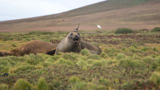 An elephant seal on Kerguelen Island in the Antarctic sports a sensor and an antenna that will gather ocean-temperature data for scientists.