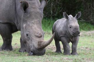 Cute baby white rhino with its mama.