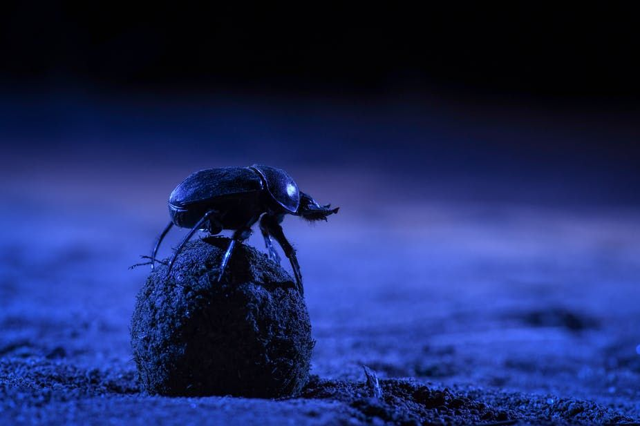 Skyglow forces dung beetles in the city to abandon the Milky Way as their compass