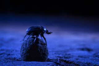A dung beetle climbs atop its precious ball to orient itself using the night skies.
