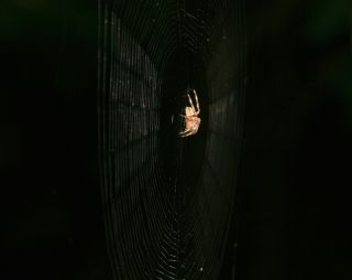a cross spider on its web