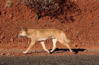 dingo, marsupial extinctions
