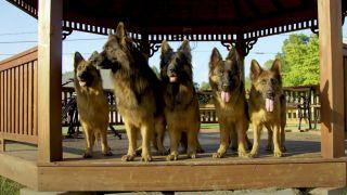 Pack of German Shepherds